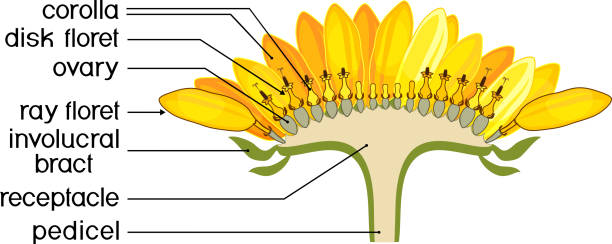 Structure of flower of sunflower in cross section. Diagram of flower head or pseudanthium. Parts of sunflower with titles Structure of flower of sunflower in cross section. Diagram of flower head or pseudanthium. Parts of sunflower with titles flower part stock illustrations