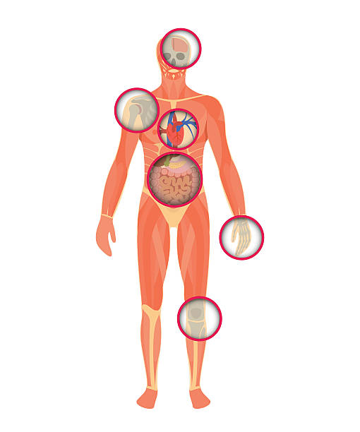 Structure of human body - a look through the scanner. vector art illustration