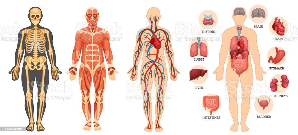 Vetores De Estrutura Do Corpo Humano Esqueleto Sistema