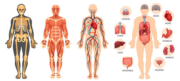 Structure of human body, skeleton, muscular system, blood vessels, organs. Anatomical structure of human body, skeleton, muscular system, system of blood vessels with arteries, veins, organs human. Medical anatomy, detailed human system in full growth. Vector illustration. the human body stock illustrations