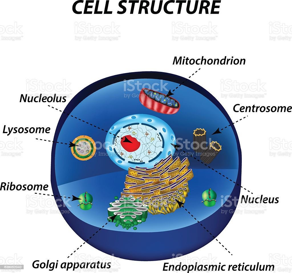 Structure Of Human Cells Organelles Vector Illustration Stock Vector