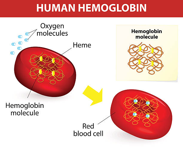 Structure of human hemoglobin Structure of human hemoglobin molecule. Vector diagram. Hemoglobin is the substance in red blood cells that carries oxygen. red blood cell stock illustrations