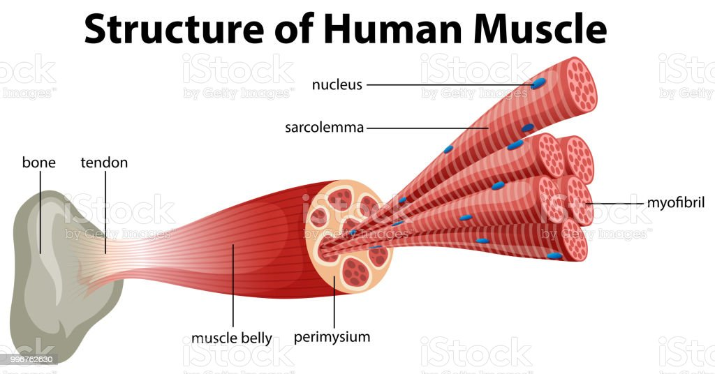 A Structure Of Human Muscle Stock Vector Art More Images Of