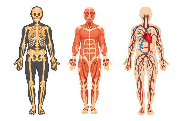Structure of human, skeleton, muscular system, system of blood vessels. Anatomical structure of the human body, skeleton, muscular system and system of blood vessels with arteries, veins, front view. Detailed human system in full growth. Vector illustration. human muscle stock illustrations