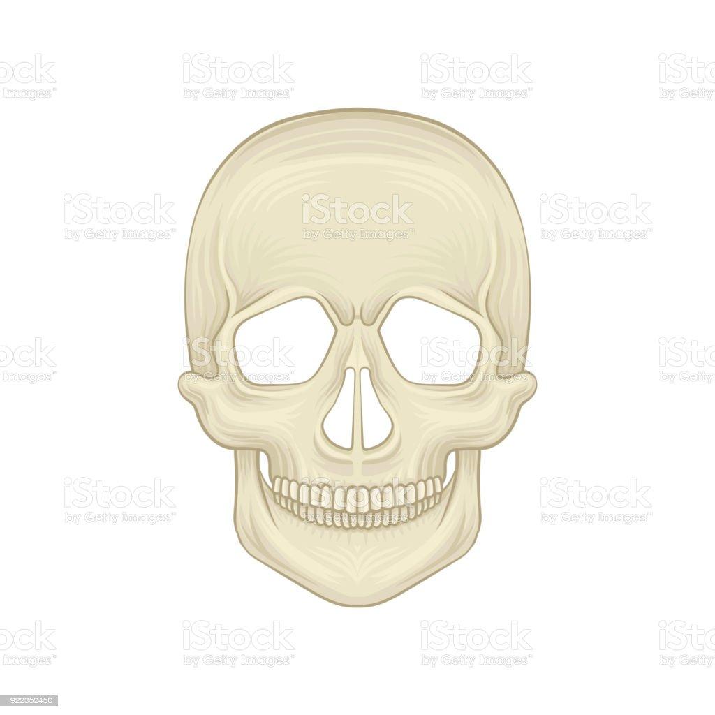 Struktur Des Menschlichen Schädel Knöchernen Teil Des Kopfes ...
