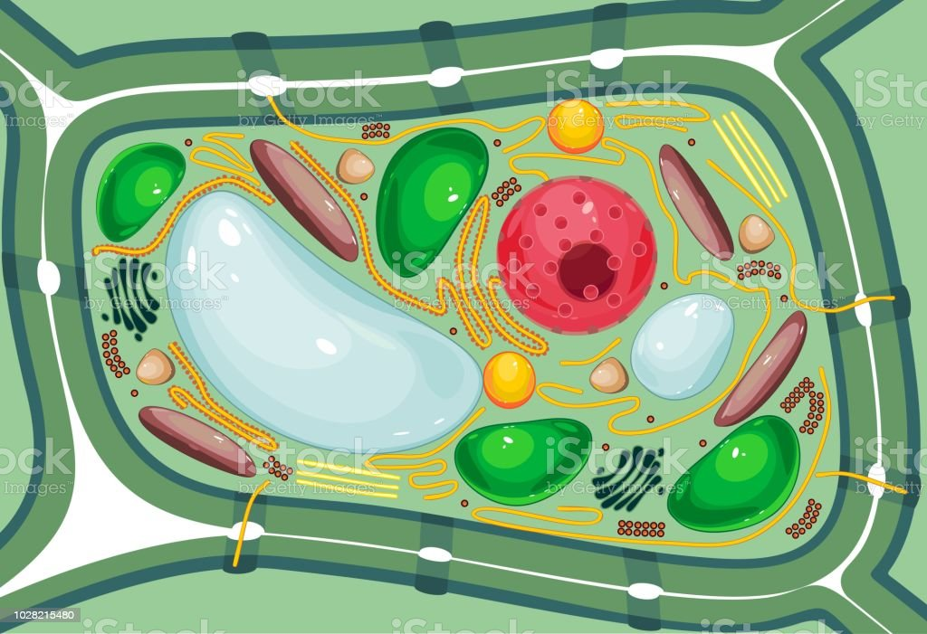 what are the organelles of a plant cell