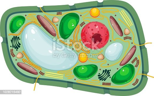 Structure of plant cell with different organelles