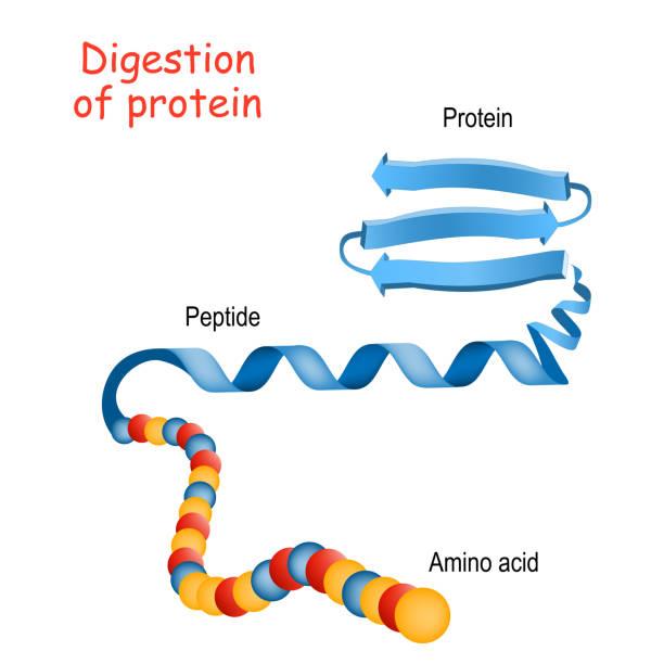 struktur des proteins von aminosäure zu peptid, und protein. nahaufnahme des proteinmoleküls - enzyme stoffwechsel stock-grafiken, -clipart, -cartoons und -symbole