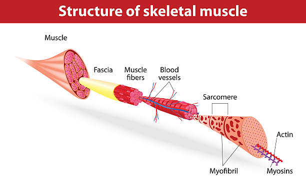 Structure of skeletal muscle Vector illustration. Muscle Tissues. Each skeletal muscle fiber has many bundles of myofilaments. Each bundle is called a myofibril. This is what gives the muscle its striated appearance. The contractile units of the cells are called sarcomeres. human muscle stock illustrations