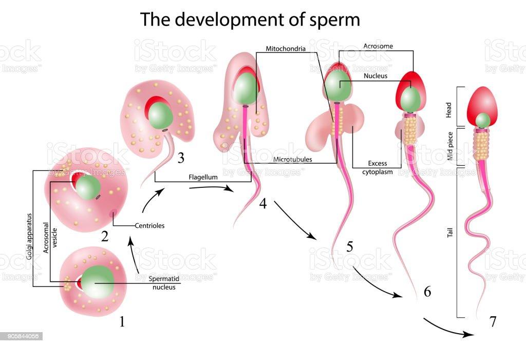 Ilustración de Estructura Del Espermatozoide y más banco de imágenes ...