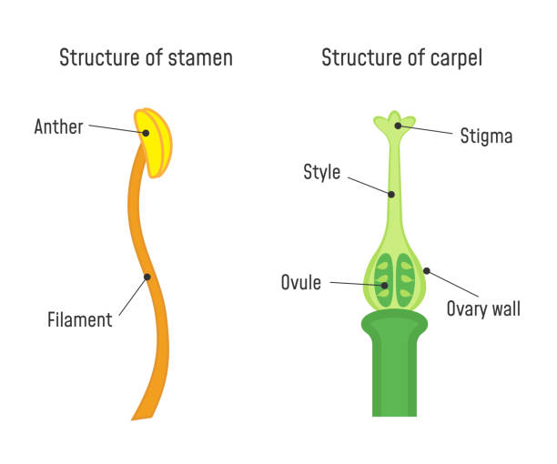 illustrazioni stock, clip art, cartoni animati e icone di tendenza di structure of stamen and carpel - impollinazione