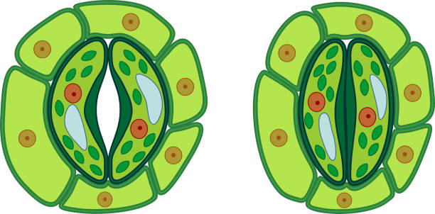 Royalty Free Vacuole Clip Art, Vector Images ...
