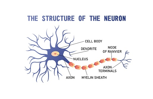 structure of the brain neuron