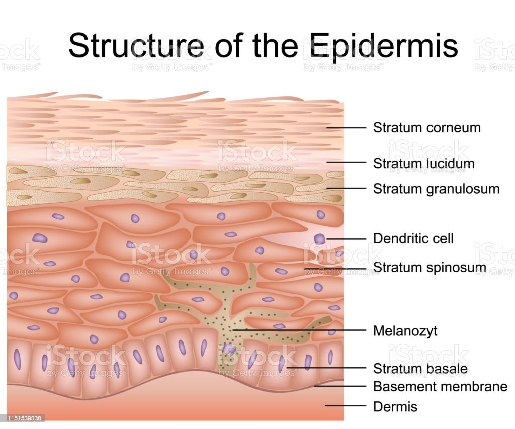 Structure Of The Epidermis Medical Vector Illustration Dermis Anatomy Stock Illustration