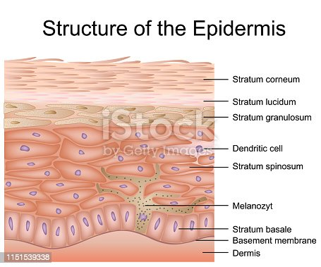 Structure of the epidermis medical vector illustration, dermis anatomy eps 10