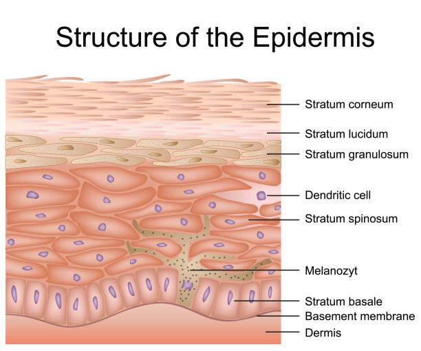 stockillustraties, clipart, cartoons en iconen met structuur van de epidermis medische vector illustratie, dermis anatomie - menselijke huid