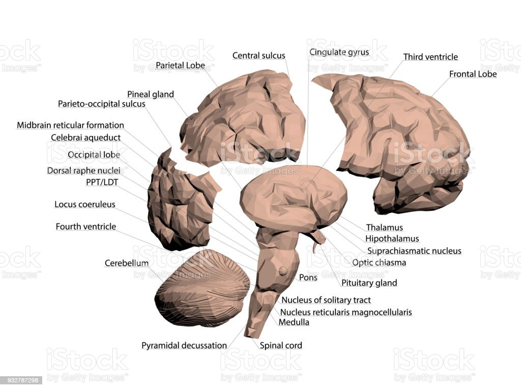 Structure of the human brain arte vetorial de stock e mais imagens structure of the human brain structure of the human brain arte vetorial de stock e ccuart Gallery