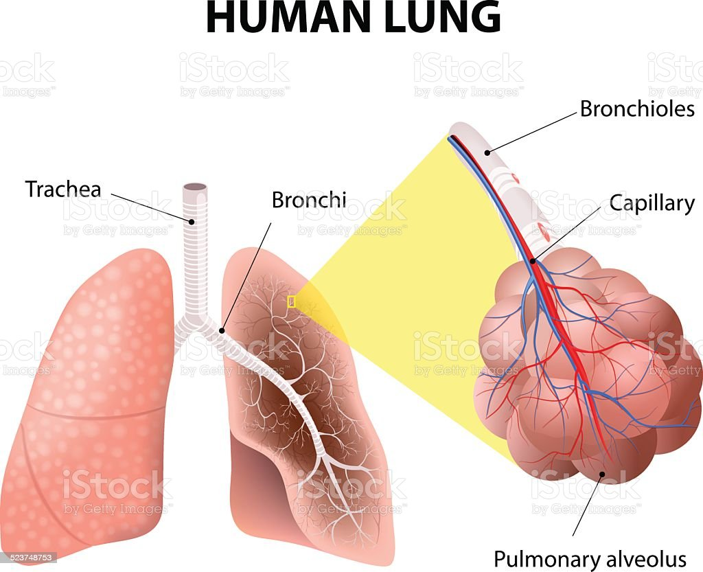 Structure Of The Human Lungs Human Anatomy Stock Vector Art More