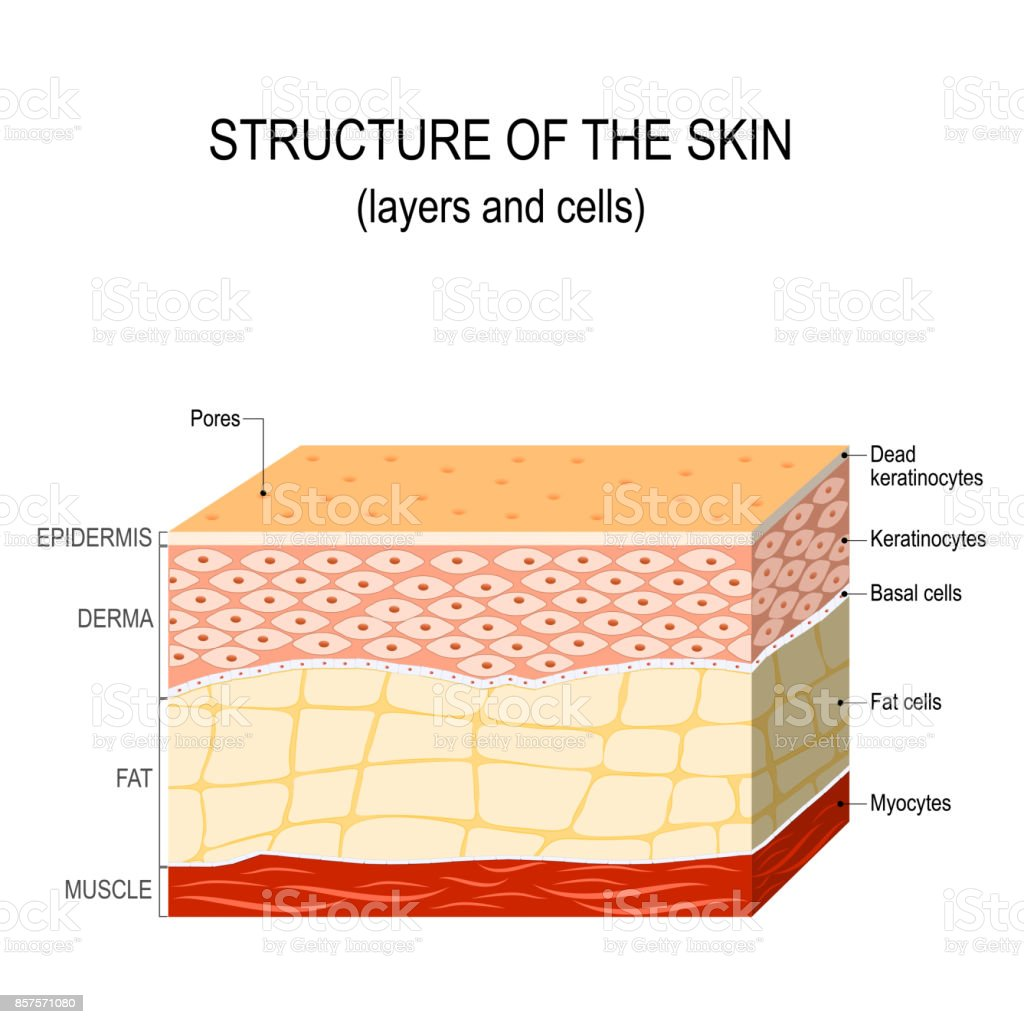 Structure of the human skin vector art illustration