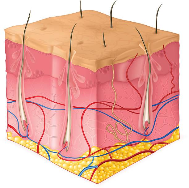 stockillustraties, clipart, cartoons en iconen met structure of the skin - menselijke huid