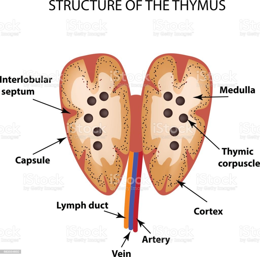 Structure Of The Thymus Gland Infographics Vector Illustration Stock