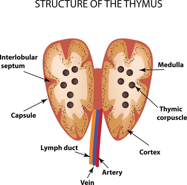 Royalty Free Thymus Gland Clip Art Vector Images Illustrations