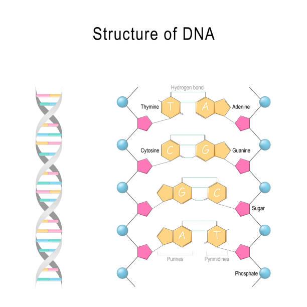 DNA structure. vector art illustration