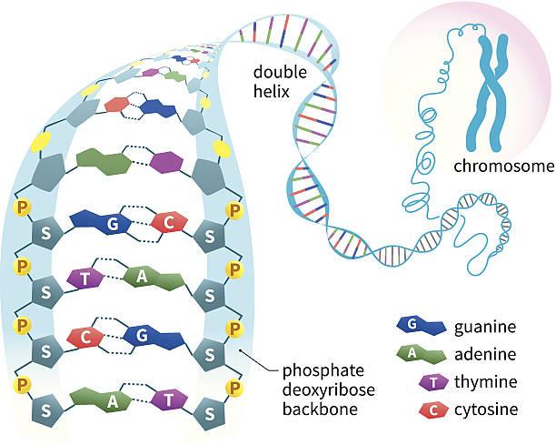 stockillustraties, clipart, cartoons en iconen met dna structure - chromosoom
