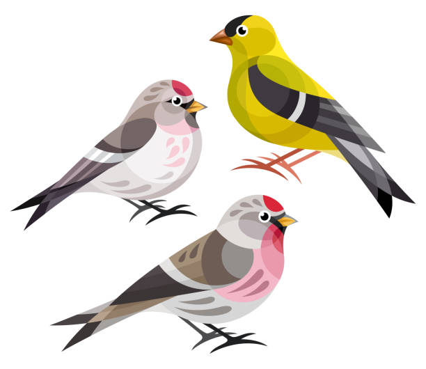 Stylized Birds Stylized Birds - Finches - American Goldfinch, Hoary Redpoll, Common Redpoll american goldfinch stock illustrations
