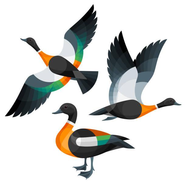 Stylized Ducks Stylized Birds - Australian Shelduck duck bird stock illustrations