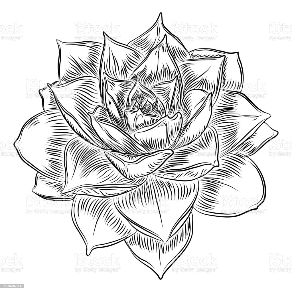 Succulent Cactus Flower Hand Drawn Terrarium Echeveria Cacti Wild Floral Exotic Tropical Plant Vector Stock Illustration Download Image Now Istock