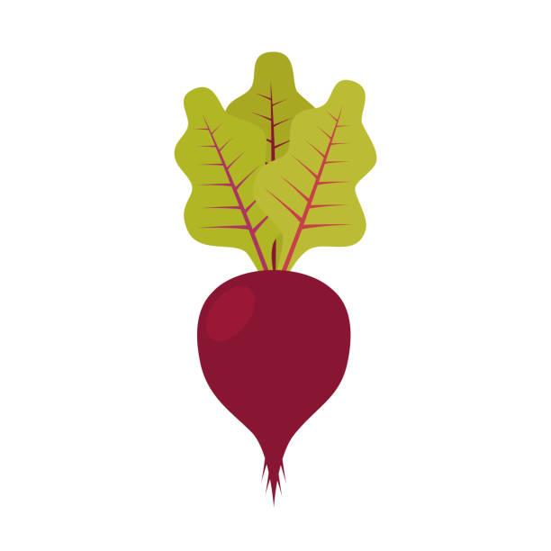 Sugar beet with leaf. Vector illustration Sugar beet with leaf. Vector illustration beet stock illustrations