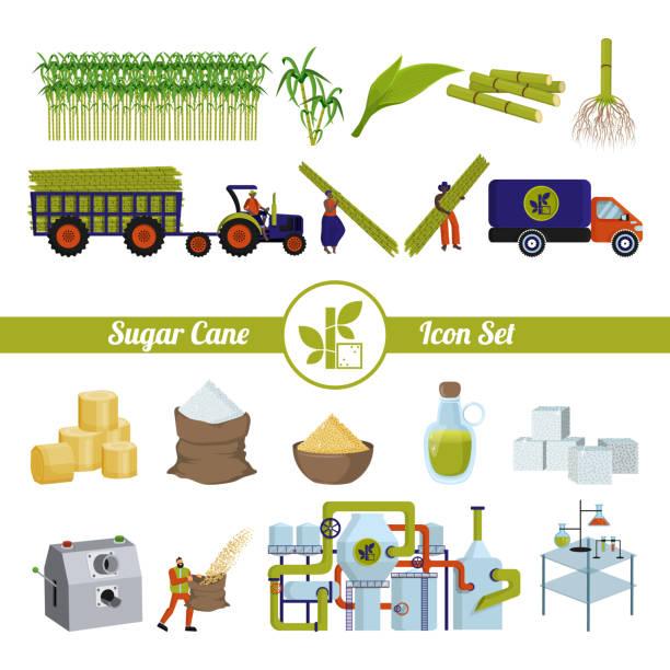 illustrazioni stock, clip art, cartoni animati e icone di tendenza di sugar cane and products from it. production and processing. - canna da zucchero