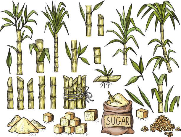 illustrazioni stock, clip art, cartoni animati e icone di tendenza di sugar cane. beverage engraving food agriculture sugar production vector colored hand drawn illustrations - canna da zucchero