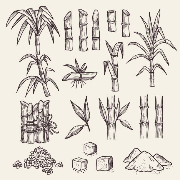 illustrazioni stock, clip art, cartoni animati e icone di tendenza di sugar cane. fresh sugar harvest agriculture plantation vector hand drawn plants - canna da zucchero