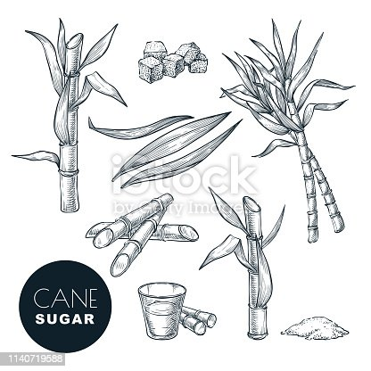 Sugar cane plant and leaves sketch vector illustration. Natural organic sweetener. Hand drawn isolated design elements.