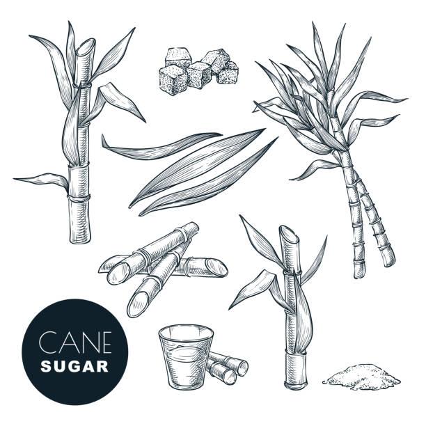 ilustrações de stock, clip art, desenhos animados e ícones de sugar cane plant and leaves sketch vector illustration. natural organic sweetener. hand drawn isolated design elements - açúcar