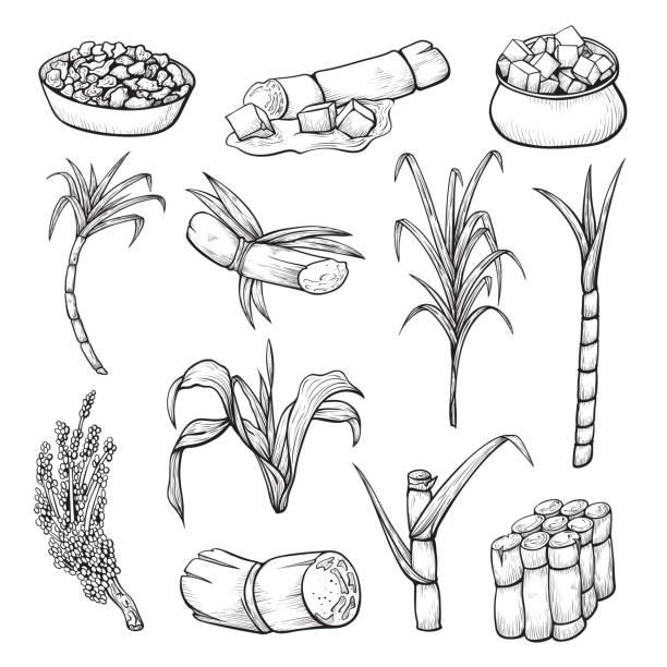 illustrazioni stock, clip art, cartoni animati e icone di tendenza di sugar cane plant set, farming and agriculture sketch - canna da zucchero