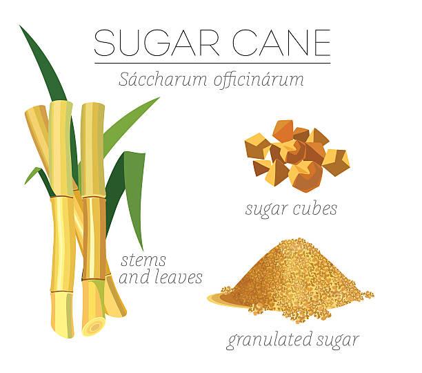 illustrazioni stock, clip art, cartoni animati e icone di tendenza di canna da zucchero - canna da zucchero