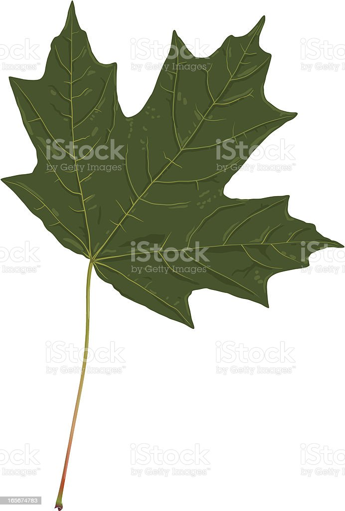 Royalty Free Sugar Maple Tree Clip Art Vector Images