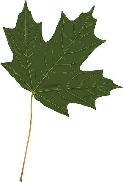Royalty Free Sugar Maple Tree Clip Art Vector Images
