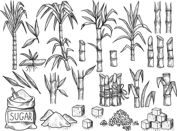 illustrazioni stock, clip art, cartoni animati e icone di tendenza di sugar plant. agriculture production of sugarcane plantation vector hand drawn collection - canna da zucchero