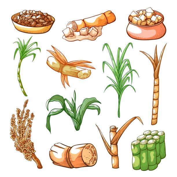 illustrazioni stock, clip art, cartoni animati e icone di tendenza di sugar sweet cane farming and industry hand drawn set - illustrazioni di canna da zucchero
