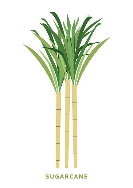 illustrazioni stock, clip art, cartoni animati e icone di tendenza di canna da zucchero di canna da zucchero, illustrazione vettoriale, isolato simbolo su sfondo bianco - canna da zucchero