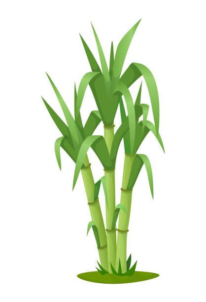 illustrazioni stock, clip art, cartoni animati e icone di tendenza di sugarcane plant with stem and leaf isolated vector - canna da zucchero