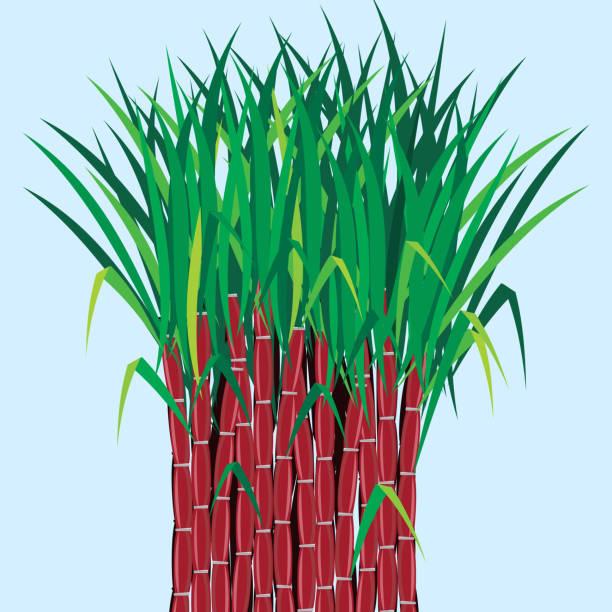 illustrazioni stock, clip art, cartoni animati e icone di tendenza di piante di canna da zucchero crescere nel campo - canna da zucchero