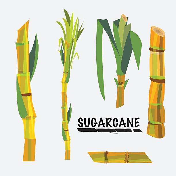 illustrazioni stock, clip art, cartoni animati e icone di tendenza di canna da zucchero-illustrazione vettoriale - canna da zucchero