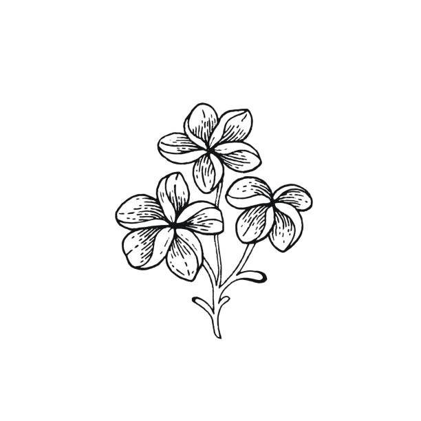 Summer Frangipani tropic flower. Exotic plumeria plant, hand drawn vintage style. Doodle vector illustration isolated white. Trendy line art for coloring book, t-shirt print, card design, logo, print Summer Frangipani tropic flower. Exotic plumeria plant, hand drawn vintage style. Doodle vector illustration isolated white. Trendy line art for coloring book, t-shirt print, card design, logo, print frangipani stock illustrations