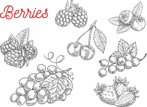 illustrazioni stock, clip art, cartoni animati e icone di tendenza di summer fruit and berry sketch for food design - mirtilli