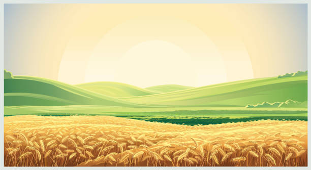 Summer landscape with field wheat Summer landscape with a field of ripe wheat, and hills and dales in the background harvesting stock illustrations